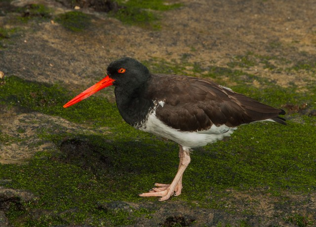Galapagos American Oyster Catcher LPHOTO, BLOG