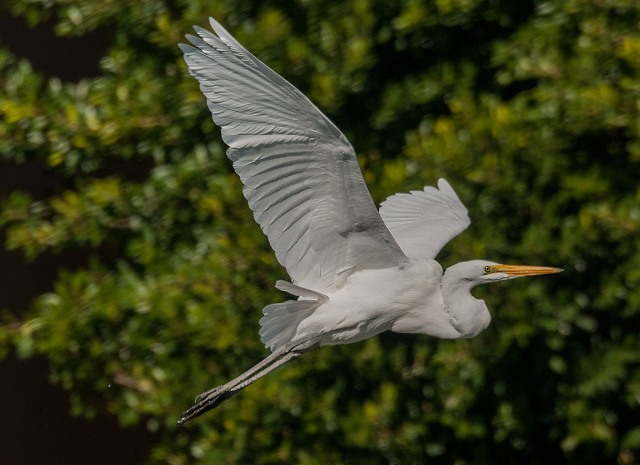 Great Egret 2-17-18 BLOG, PHOTO OF DAY, SW BIRDS, AZPHOTOS