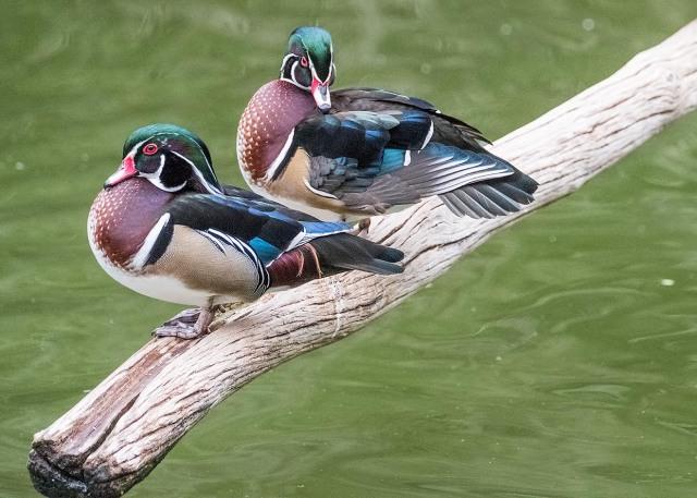 Wood Ducks 1 NAT NATURE AZ, AZPHOTOS, LPHOTO, BLOG