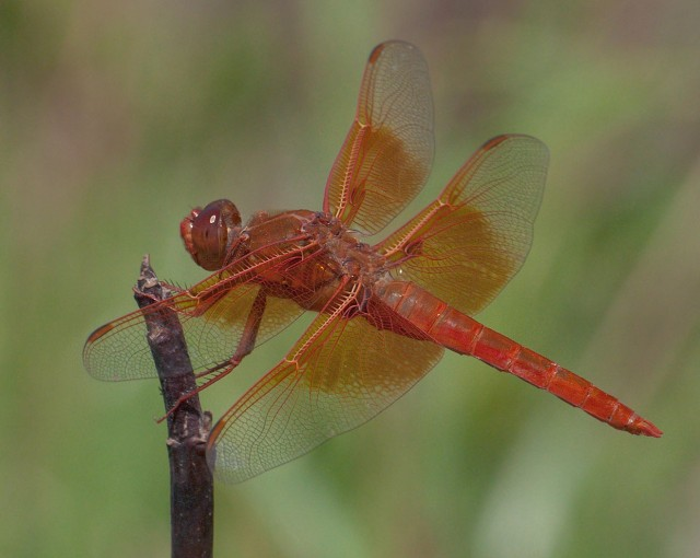 Dragonfly 3-31-18 LPHOTO, BLOG, PHOTO OF DAY