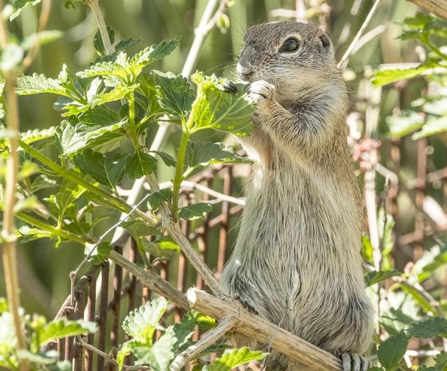 Ground Squirrel 3-15-18 PHOTO OF DAY, LPHOTO, MAMMALS, BLOG