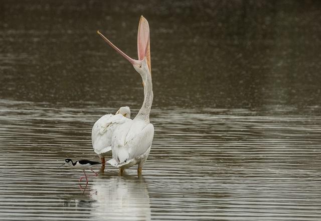 Pelican 3-10-18 BLOG, MAIN