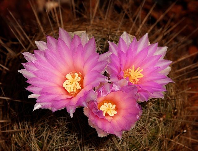 Cactus Bloom, MAIN, BLOG, PHOTO OF DAY, CAPTURE AZ, LPHOTO