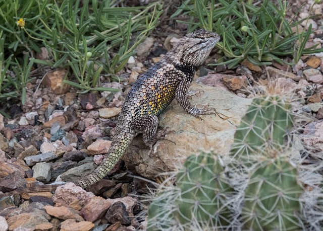 DBG Lizard 4-21-18 MAIN, BLOG, PHOTO OF DAY