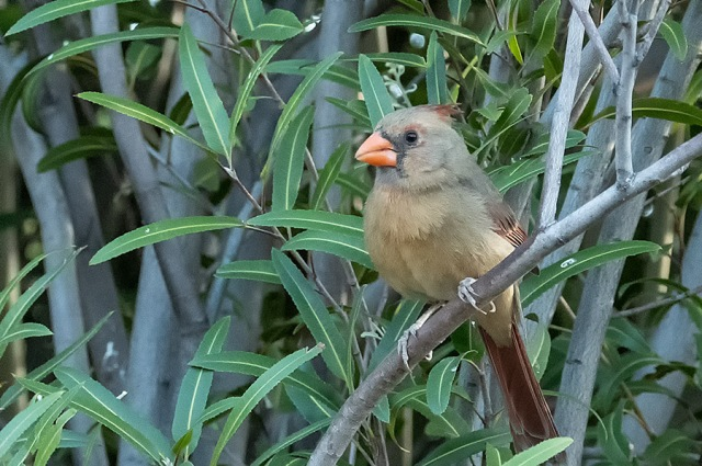 female Northern Cardinal SWBIRDS, BLOG