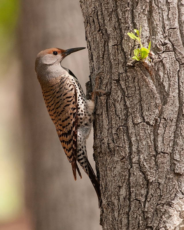 Northern Flicker 4-12-18 BLOG, SWBIRDS