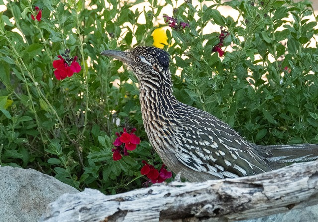 Roadrunner 2 4-27-18 MAIN, BLOG, PHOTO OF DAY