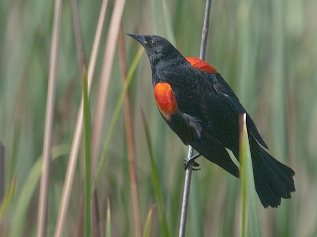Red-winged Blackbird AZPHOTO, BLOG, CAPTURE