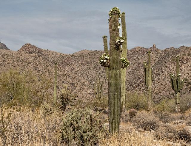 Saguaro 5-7-18 MAIN. BLOG, PHOTO OF DAY