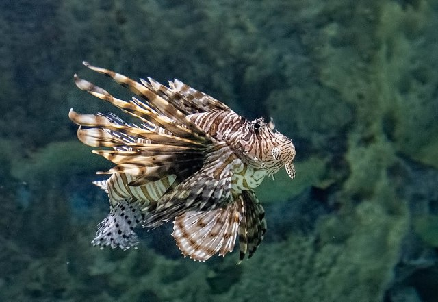 Lion Fish LPHOTO, BLOG, CAPTURE