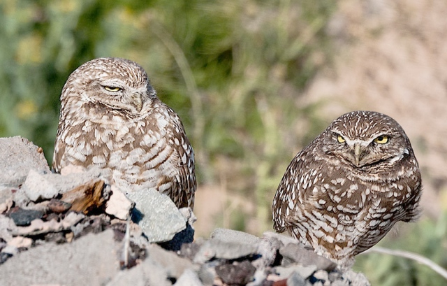 Owls CAPTURE, BLOG, WVC