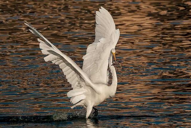 Arrowhead Egret 2 MIAN, LPHOTO, BLOG, PHOTO OF DAY