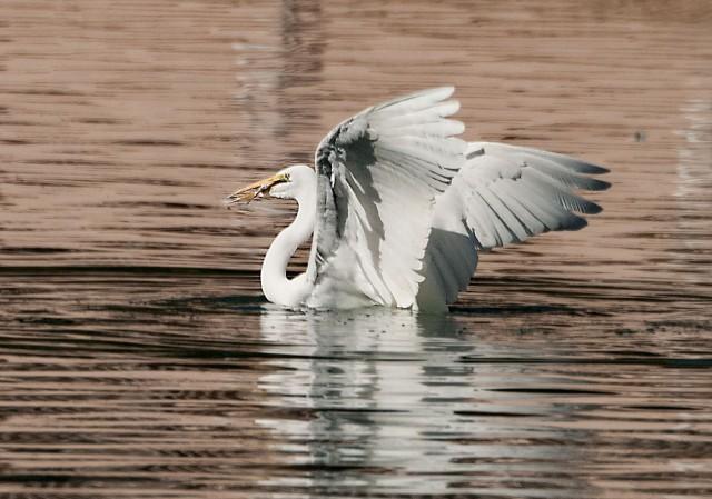 Great Egret Swimming 2 SW BIRDS - BLOG, MAIN