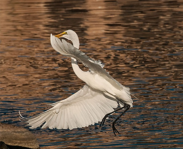 Great Egret BLOG, CAPTURE, PHOTO OF DAY, MAIN