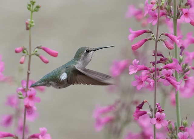 MBY Hummer LPHOTO, WVC, BLOG, PHOTO OF DAY