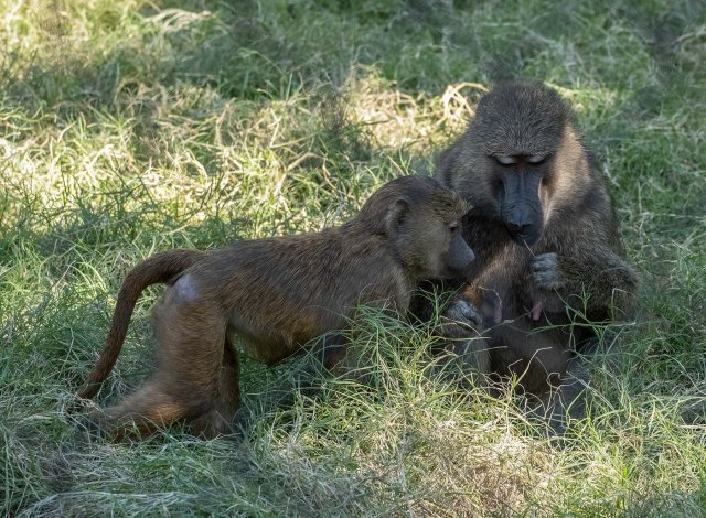 Baboons 2 MAIN, BLOG, AZPHOTO