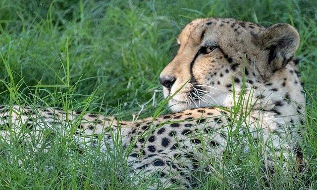 Cheetah MAIN, BLOG, LPHOTO