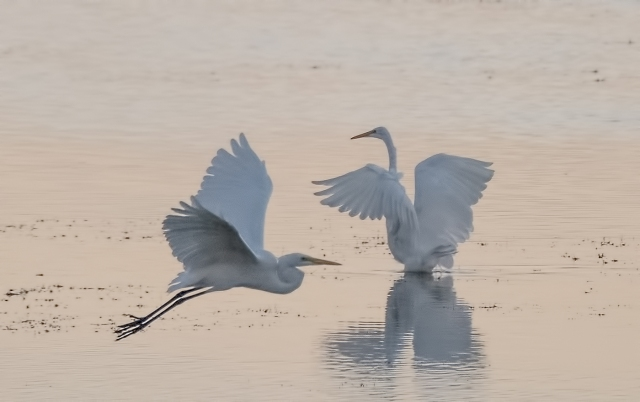 Egrets MAIN, BLOG, CAPTURE, F&F, PHOTO OF DAY.jpg