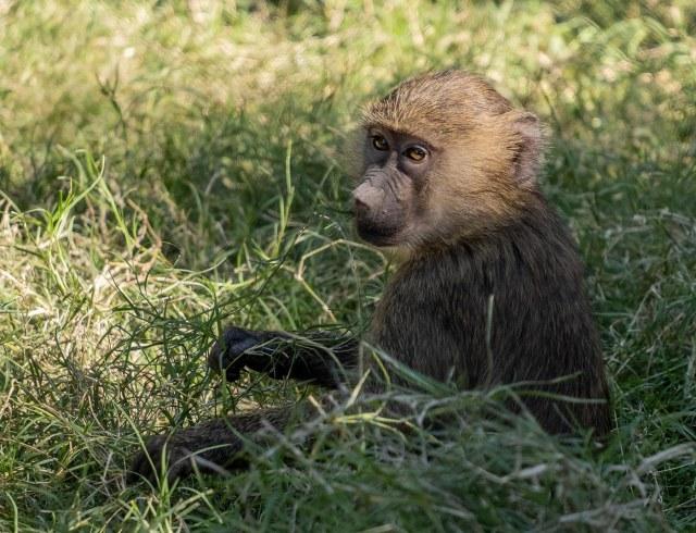 Baboon baby 11-1-18 MAIN, BLOG,