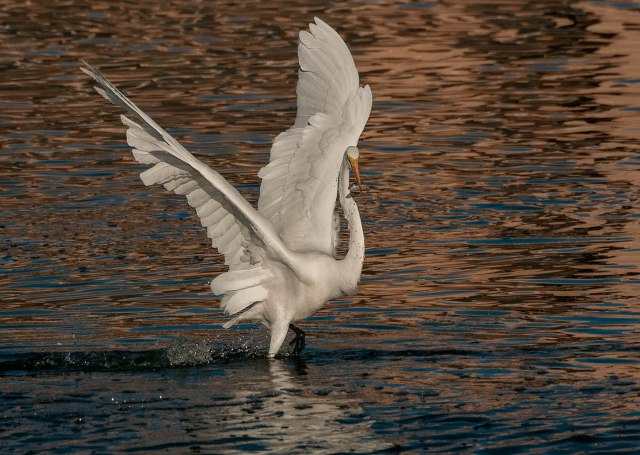 Egret 11-30-18 MAIN, AZPHOTOS, PHOTO OF DAY, BLOG
