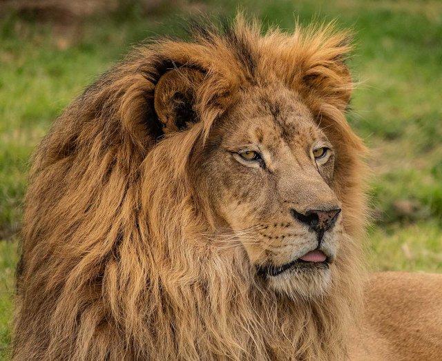 lion 11-15-18 MAIN, BLOG, LPHOTO