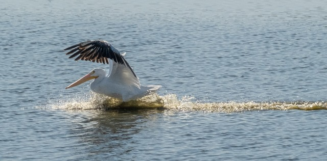 Pelican 11-13-18 MAIN, LPHOTO, BLOG,