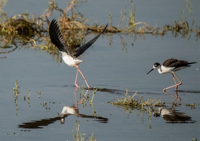 Stilts BLOG, SWBIRDS