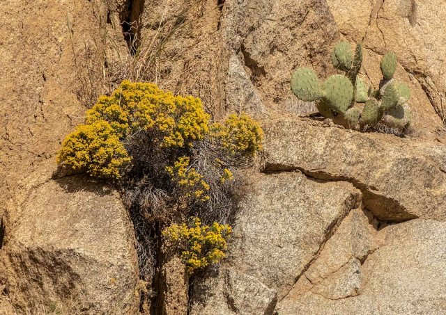 Yarnell 11-17-18 MAIN, BLOG, PHOTO OF DAY, AZ WILDFLOWERS AND CACTI