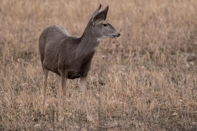 Day 1 deer, BLOG, MAIN, MAMMALS OF WEST