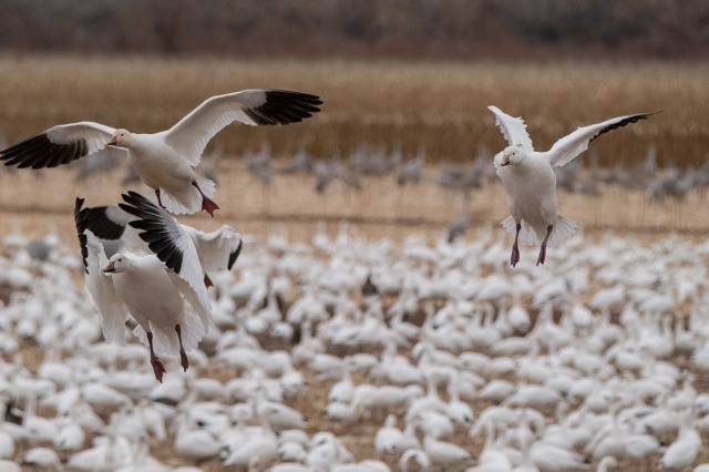 Day 2 Snow Geese 1 BLOG, MAIN, SWBIRDS