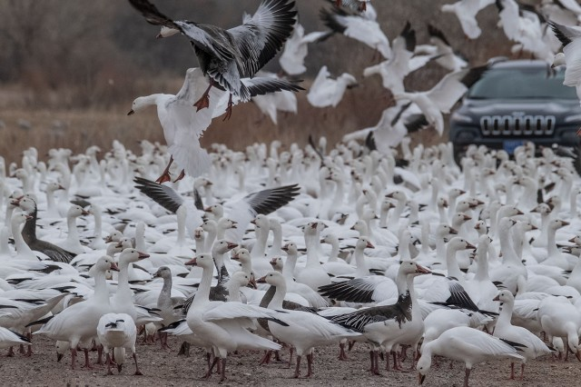 Geese on road LPHOTO, SWBIRDS, NATPARKS, BLOG