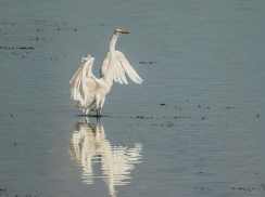 Great Egret LPHOTO, MAIN