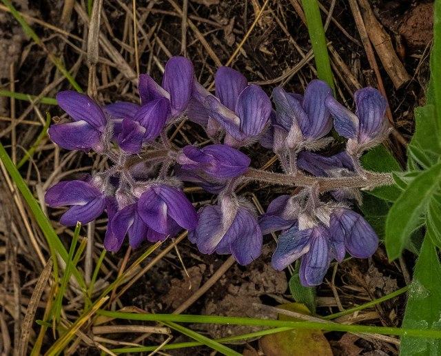 Lupine MAIN, AZ FLOWERS, BLOG