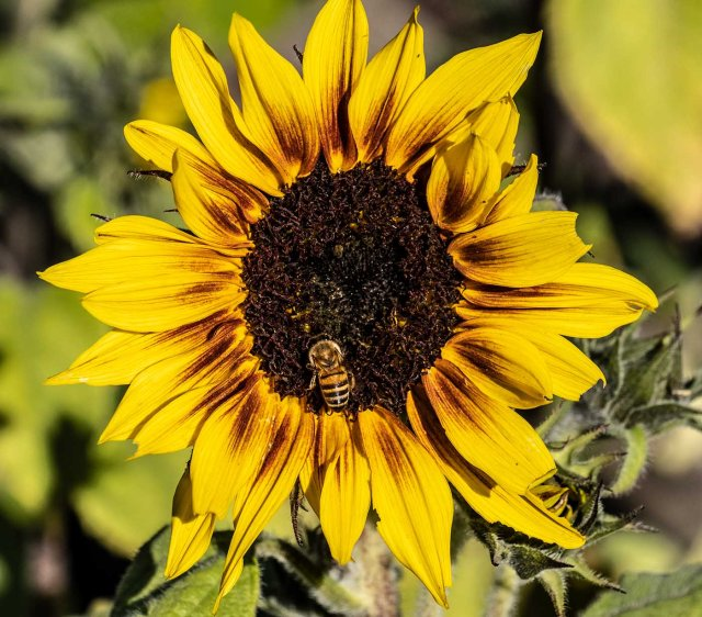 Sun Flower 12-14-18 MAIN, BLOG, PHOTO OF DAY, INSECTS