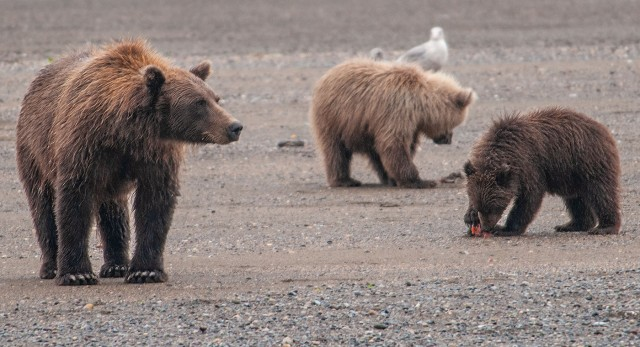 Bears of Salmon Creek-383 BLOG, MAIN, LPHOTO, MAMMALS OF WEST