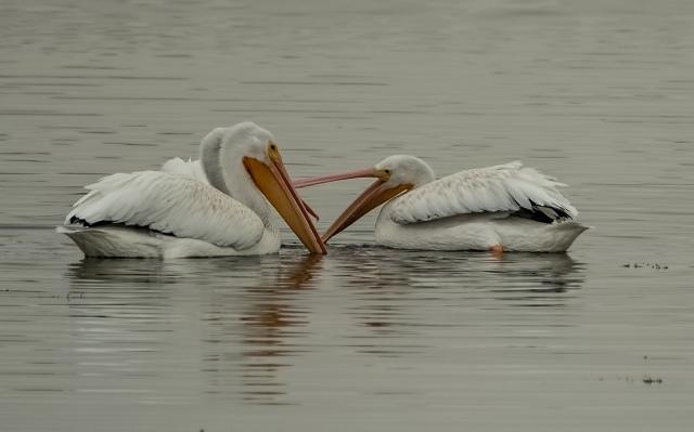 Pelicans 7 LPHOTO, SWBIRDS, BLOG