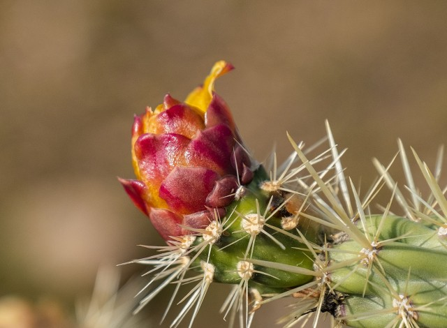 staghorn cholla cactus 1-16-19 main, blog, photo of day, lphoto