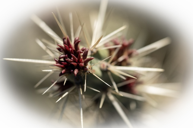 Cholla - Buckhorn or Staghorn WILDFLOWERS, MAIN, BLOG
