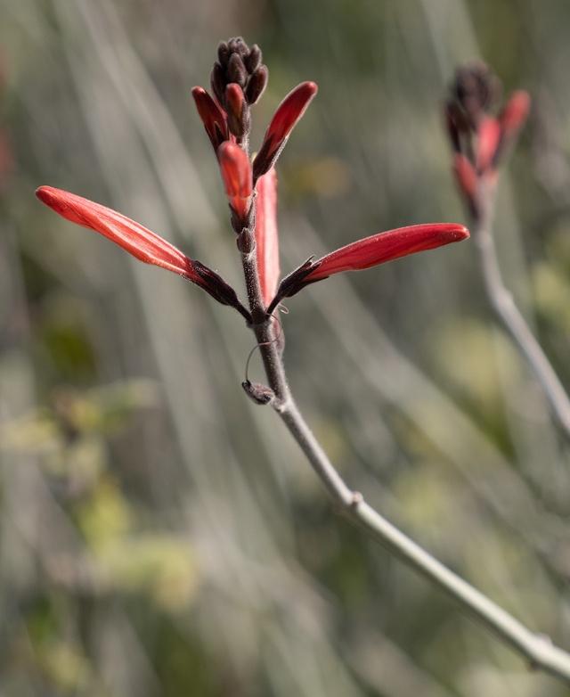 Chuparosa BLOG, PHOTO OF DAY, WILDFLOWERS, MAIN