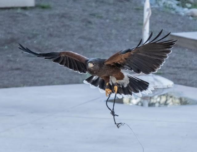 Hawk flight MAIN, SWBIRDS