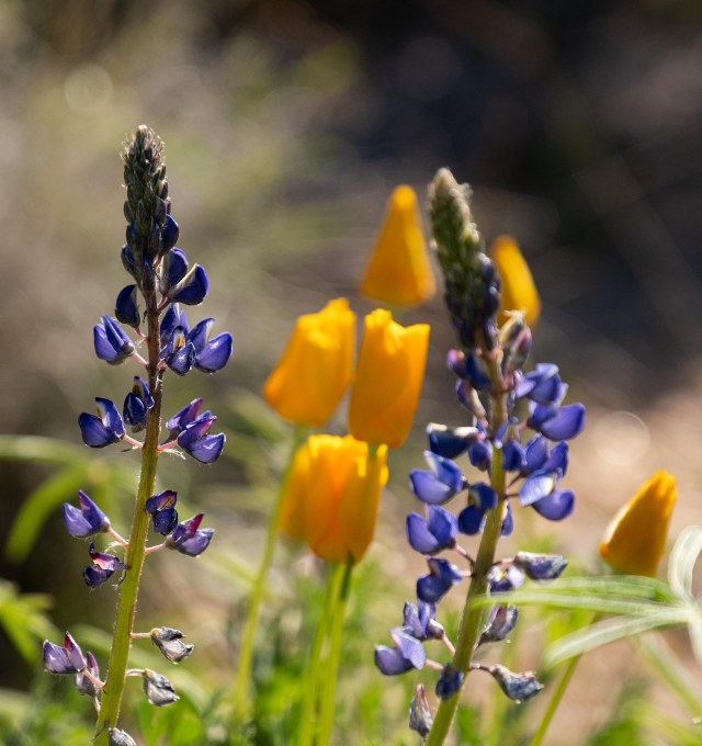 Lupine and Poppies 2-27-19 BLOG, PHOTO OF DAY, MAIN