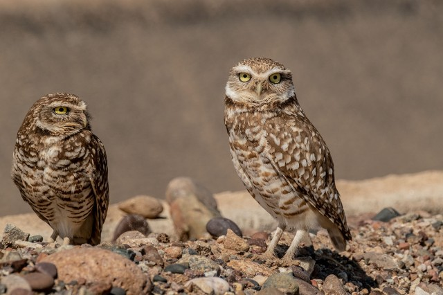 Owls 2-28-19 MAIN, BLOG, SWBIRDS, PHOTO OF DAY