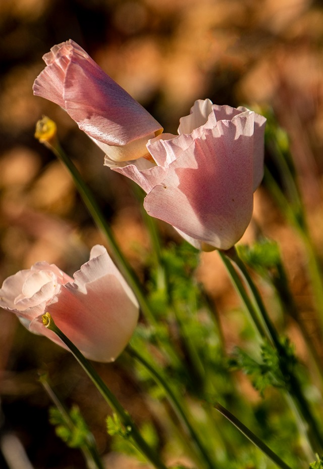 Pink Poppies 2-11-19 MAIN, BLOG, PHOTO OF DAY