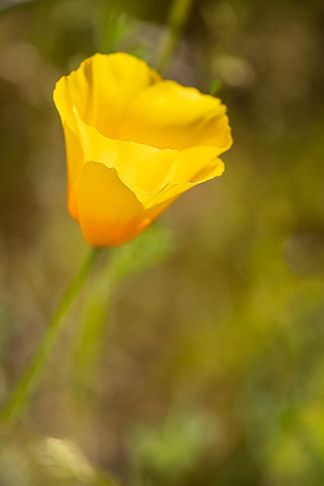 Poppy 4 2-24-19 BLOG, PHOTO OF DAY, MAIN, WILDFLOWERS