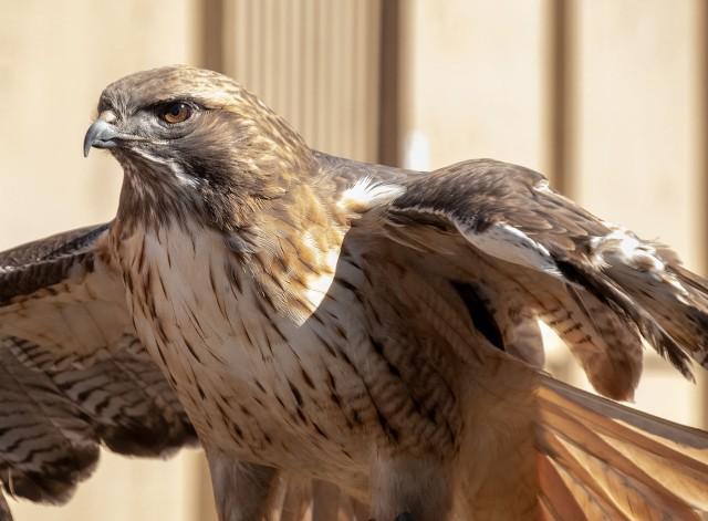 Red-tailed Hawk BLOG, MAIN, SWBIRDS, LPHOTO