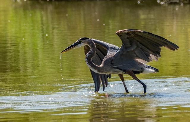 Great Blue 1 BLOG, CAPTURE, MAIN, PHOTO OF DAY