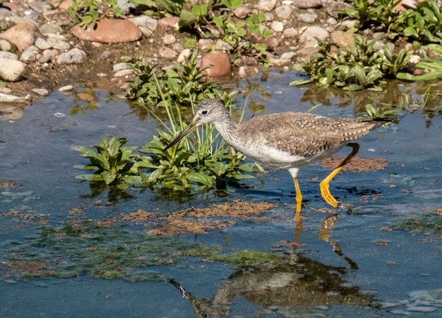 Greater Yellowlegs BLOG, SWBIRDS