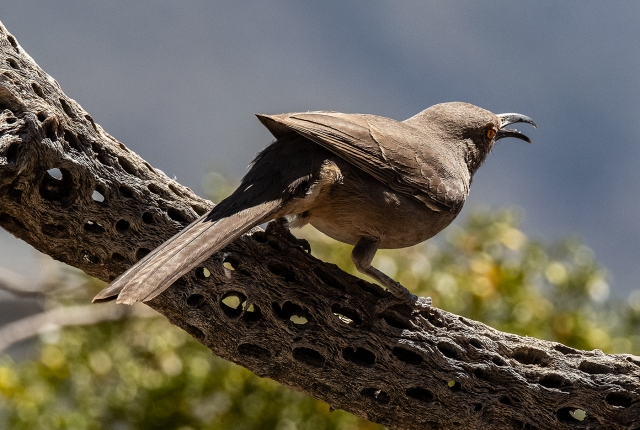 Curve-billed Thrasher 2 SWBIRDS, BLOG, CAPTURE, MAIN
