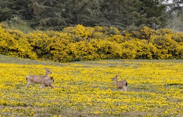 Deer in Bandon BLOG, MAMMALS,