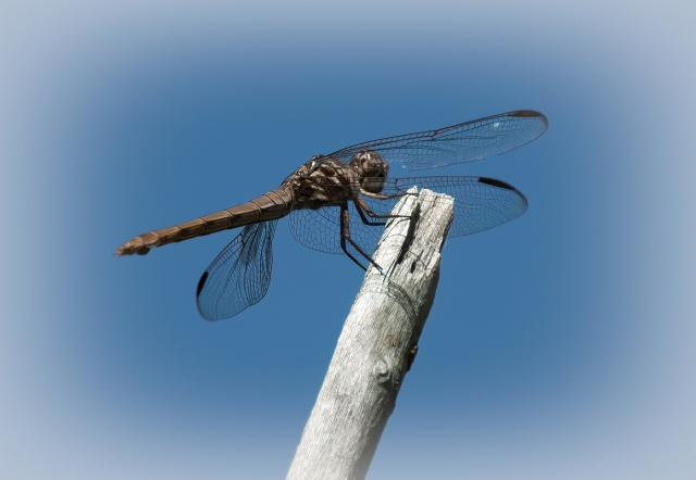 dragonfly MAIN, BLOG, CAPTURE